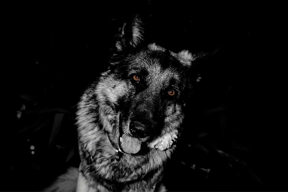 Picture of a german shepherd at night