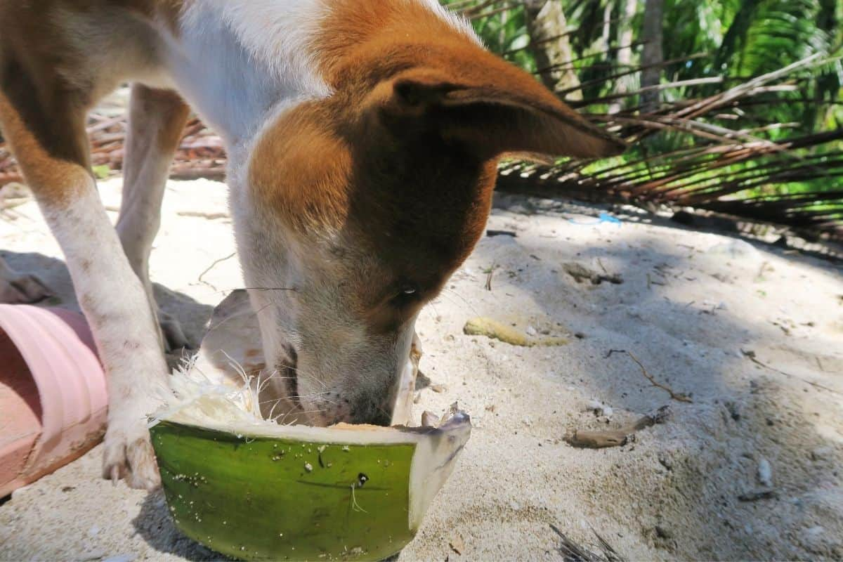 Dog drinking from a coconut