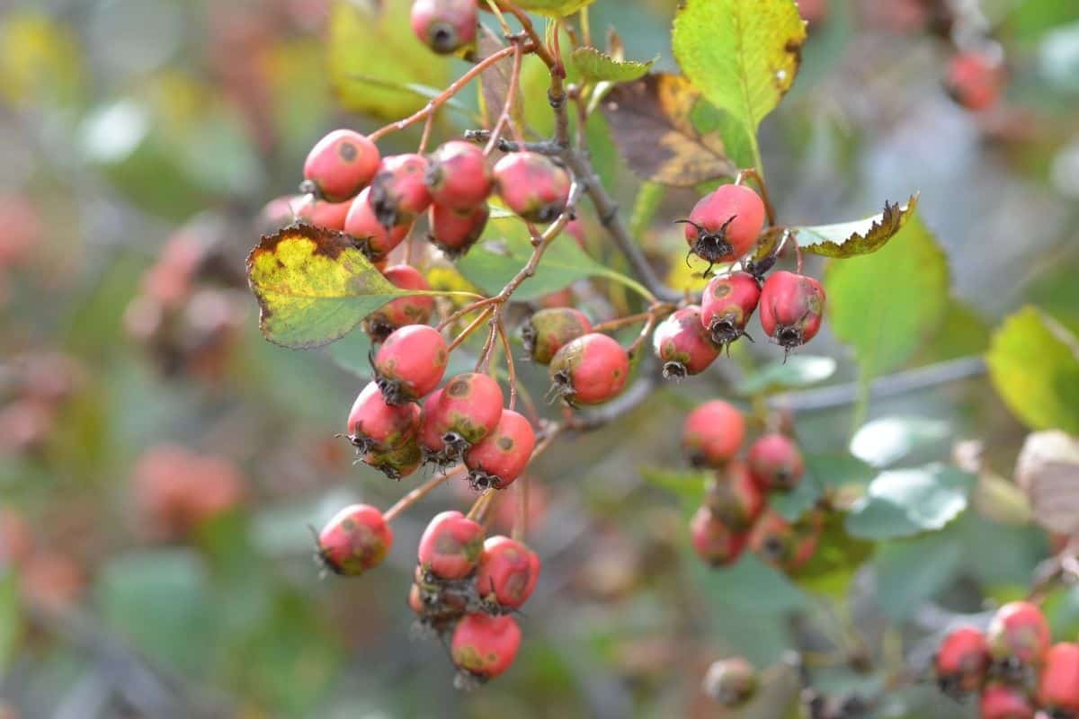 Crab Apples and leafs
